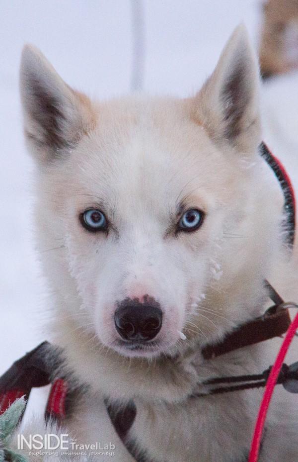 Arctic Circle Husky