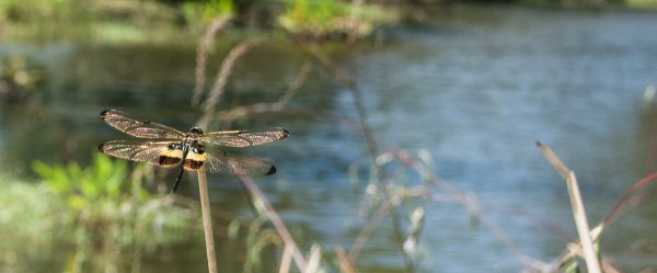 Dragonfly on a golf course in Borneo