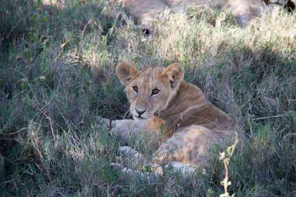 Endangered lion cubs in Kenya