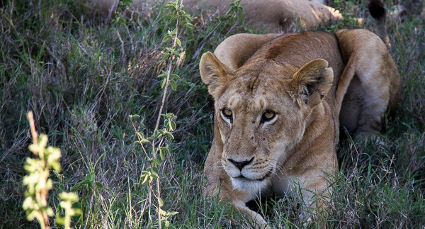 Endangered lion in Kenya via @insidetravellab