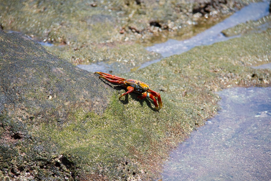 Spotting crabs in the Galapagos on @insidetravellab
