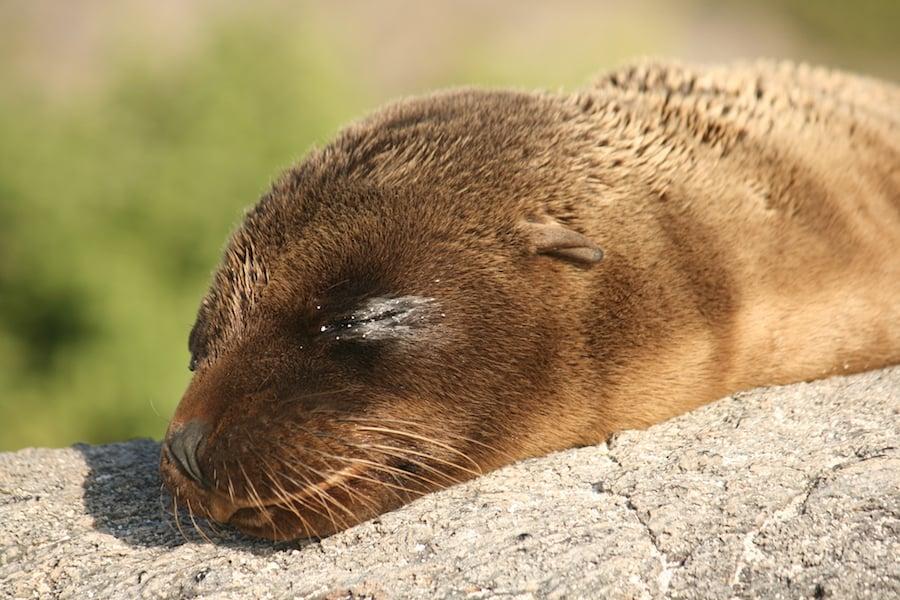 Sleeping Galapagos Sea lion from @insidetravellab