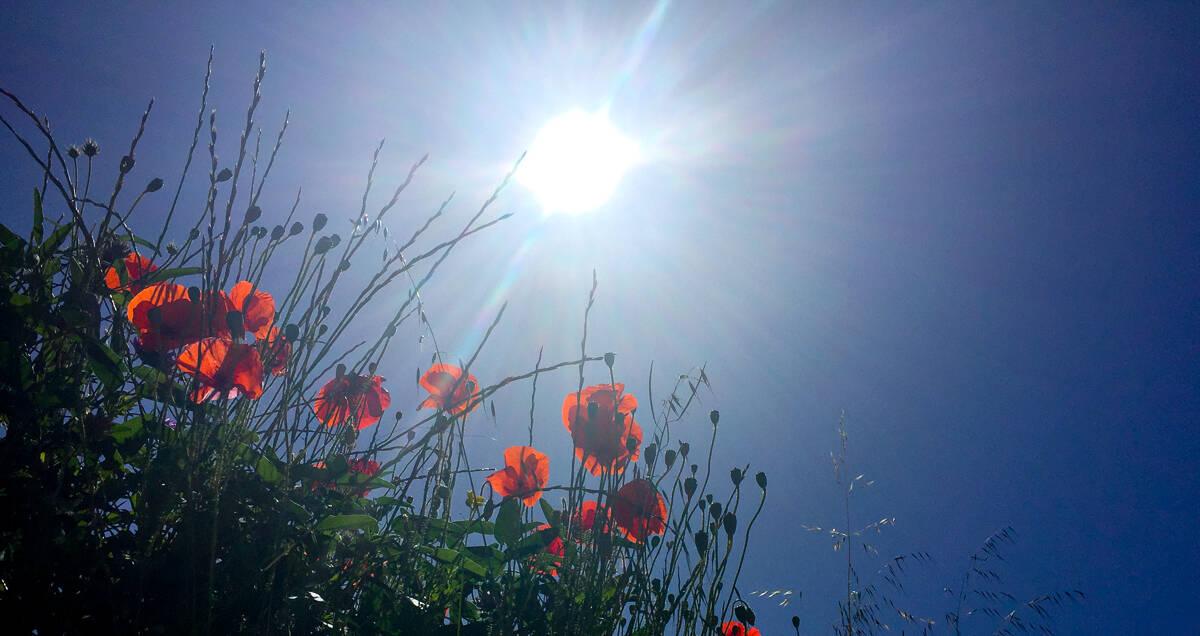 The calming poppies of Lopud Island, Croatia