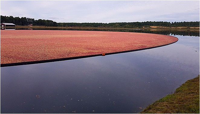 Things to do in Boston and beyond - visit the cranberry bogs