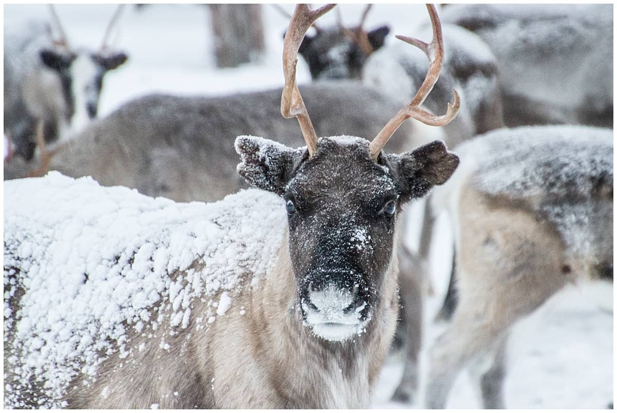 Snow covered reindeer