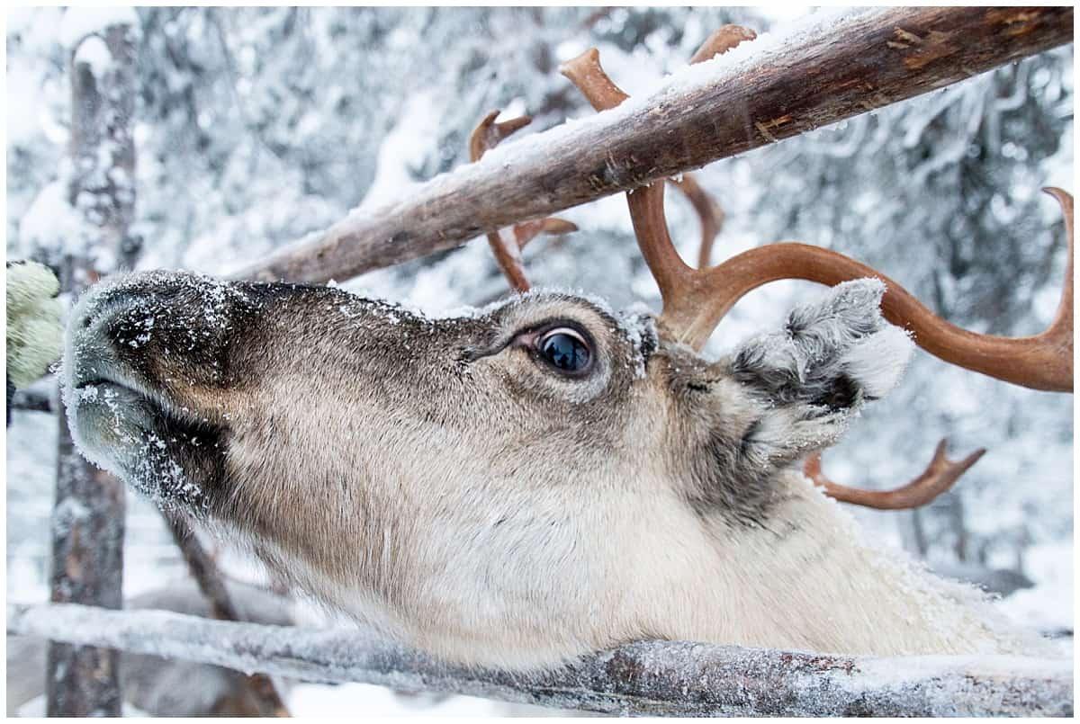 Reindeer in Lapland Finland-5