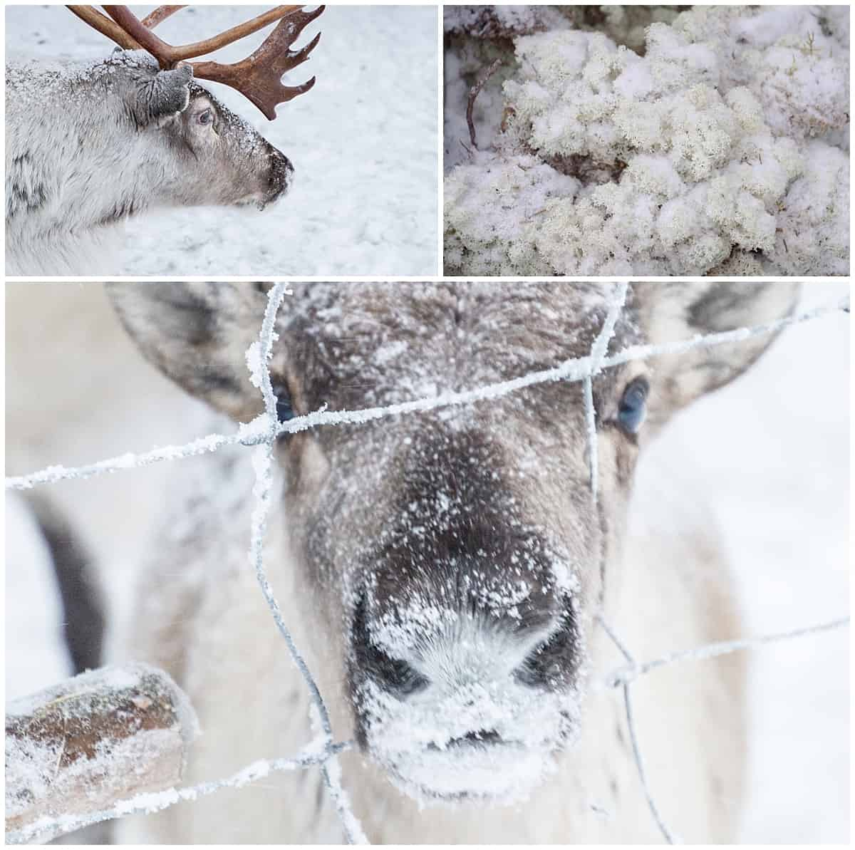Lichen and close ups with reindeer in Lapland