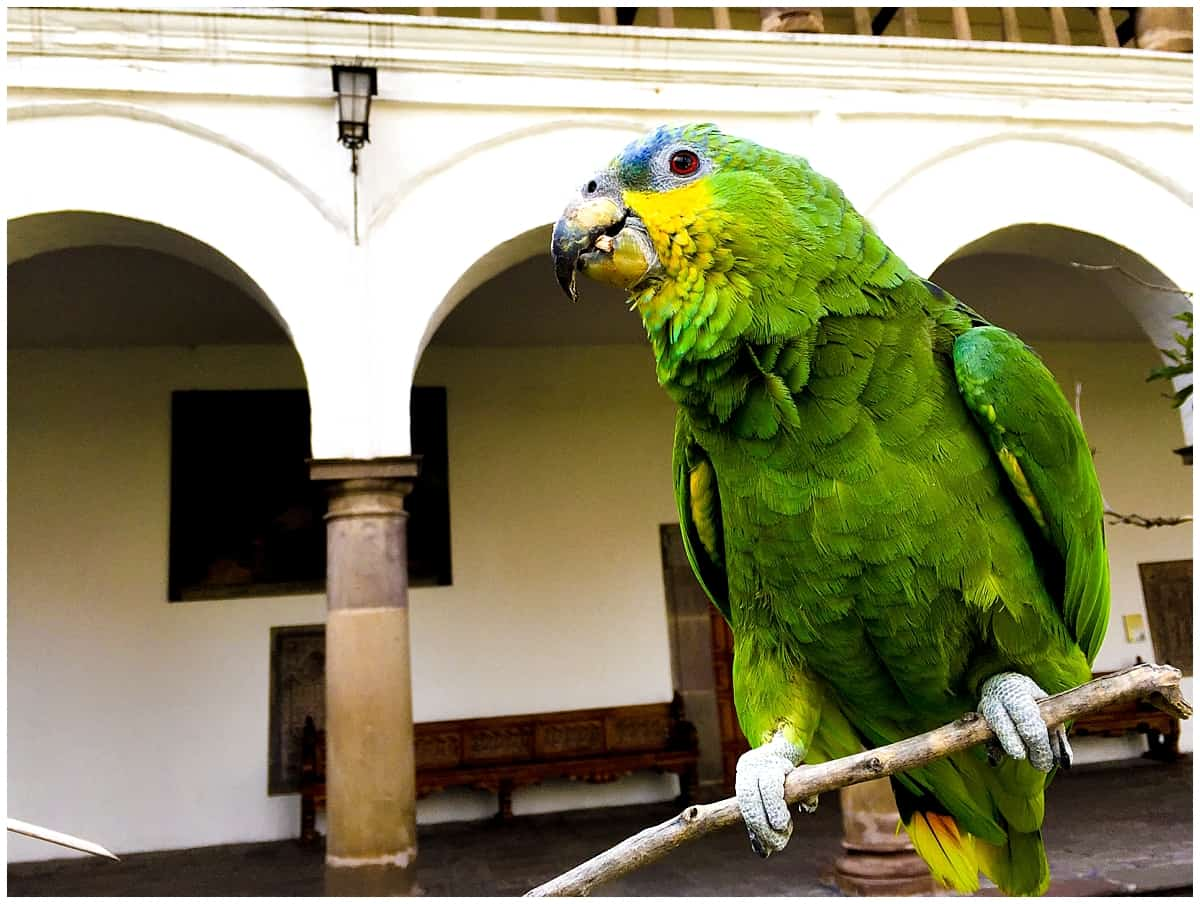 Parrot in Quito Ecuador