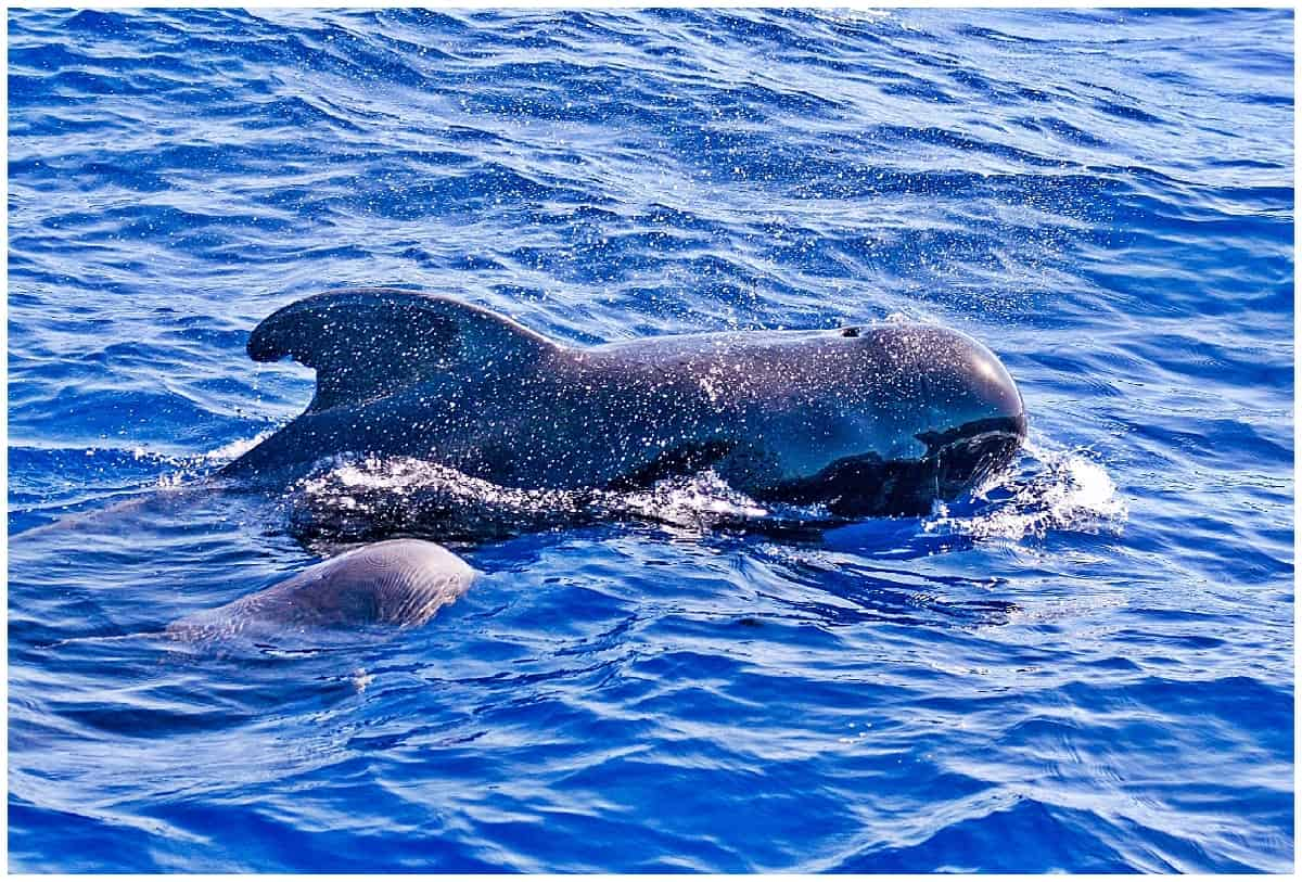 A pair of pilot whales in Tenerife