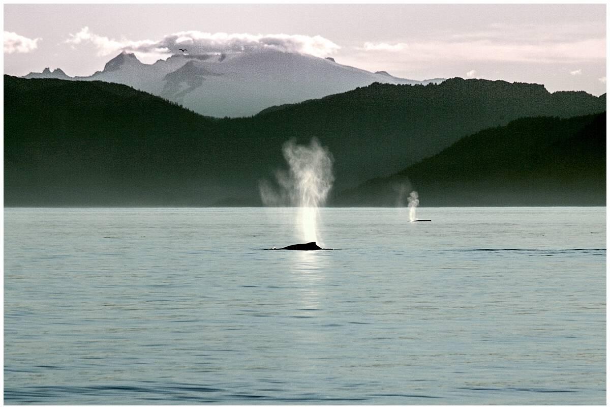 Alaska Inside Passage Whale Watching Small Ship Cruises