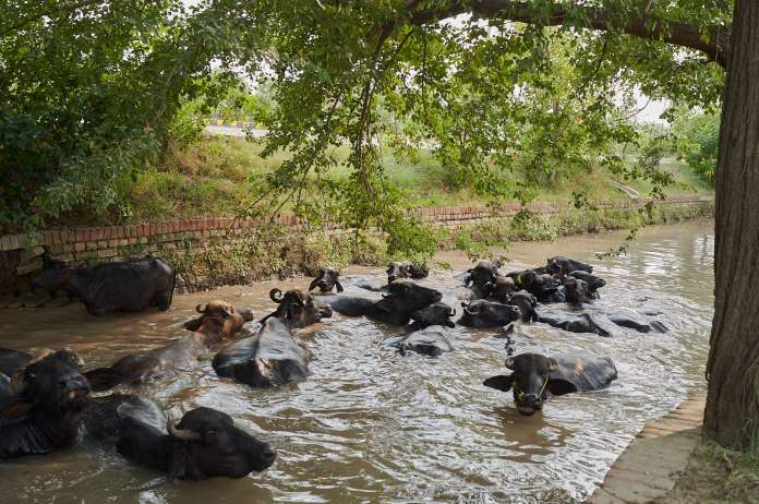 water buffaloos