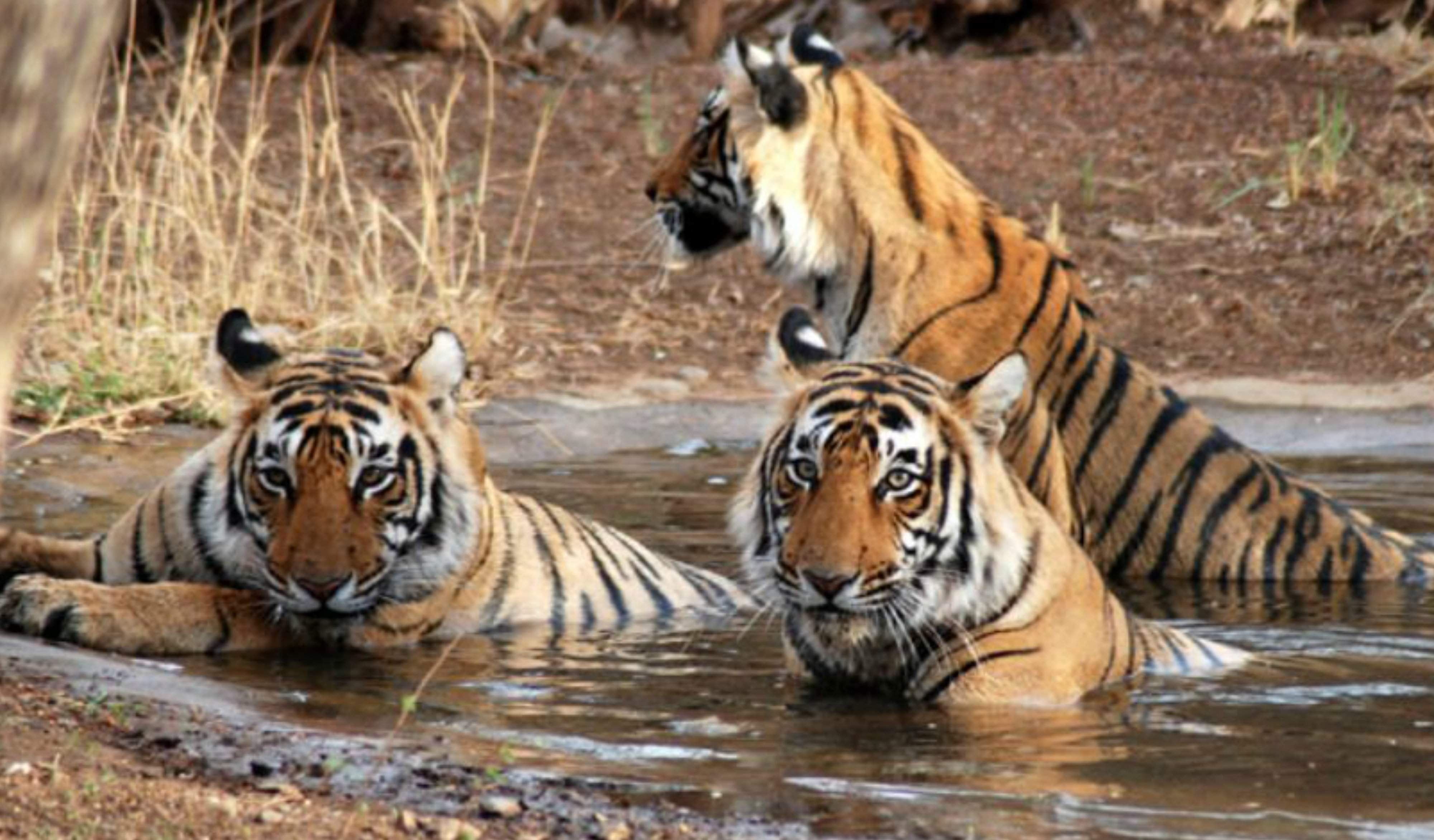 Nepal, India to conduct first joint tiger count