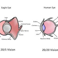 Eagle Anatomy Diagram Dodge Ignition Coil Wiring Human Vision Vs