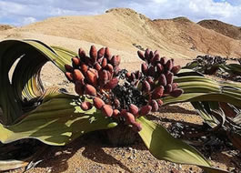 flor-deserto-resistente