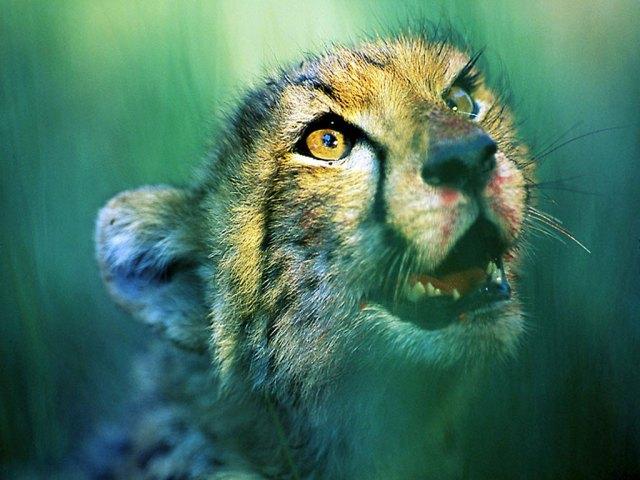 leopardo_hambriento