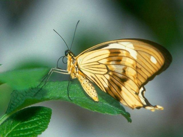 mariposa_amarilla