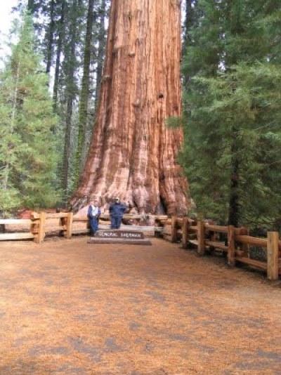 arvore_general_sherman_tree2