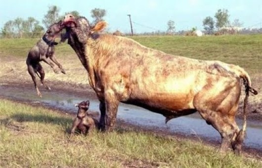 vaca-x-pitbull-03