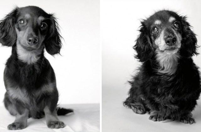 envelhecimento-de-cães-12