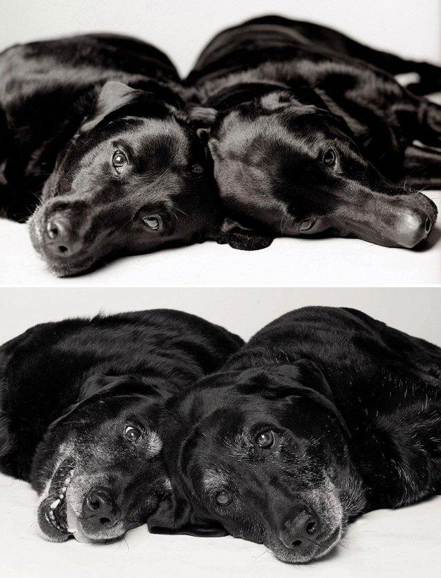 envelhecimento-de-cães-13