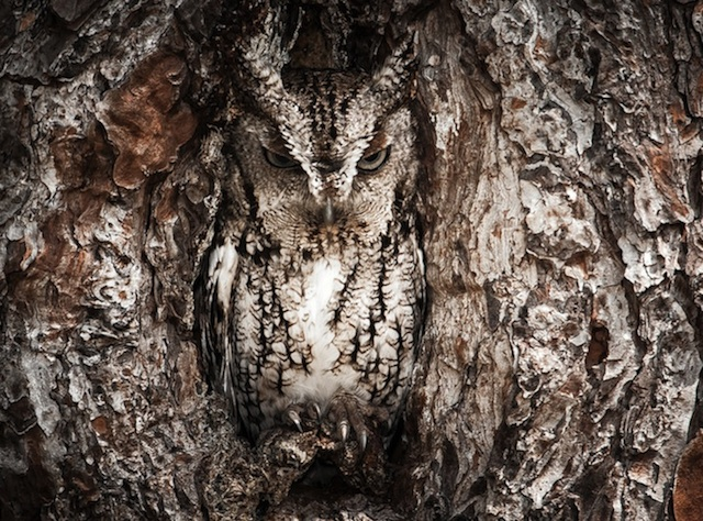 Camouflaged-Owls-Within-Trees-1