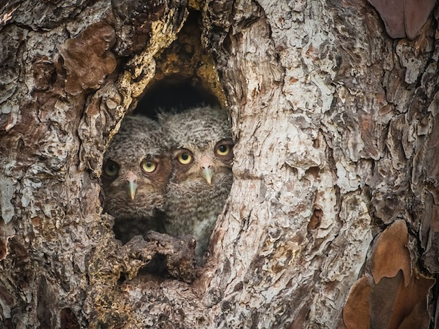 Camouflaged-Owls-Within-Trees-11