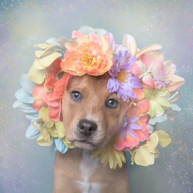 pit-bull-flower-power-sophie-gamand-04