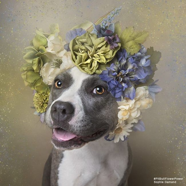 pit-bull-flower-power-sophie-gamand-05