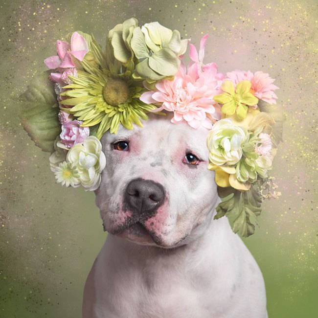 pit-bull-flower-power-sophie-gamand-06