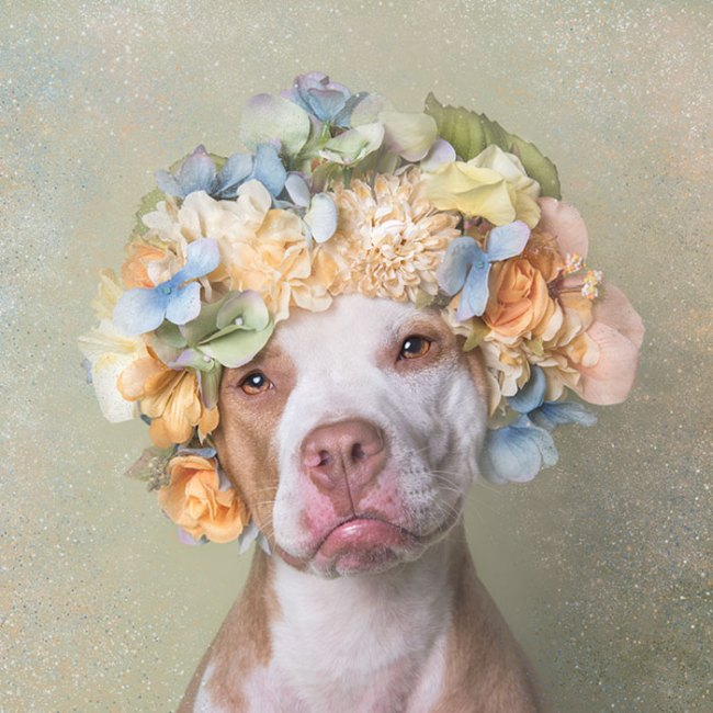 pit-bull-flower-power-sophie-gamand-08
