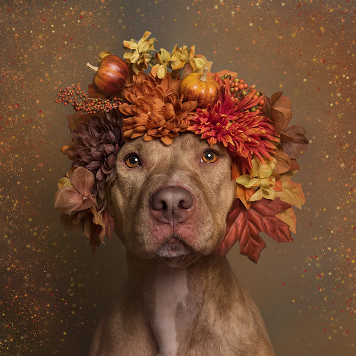 pit-bull-flower-power-sophie-gamand-10