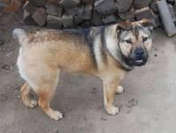 10.-Bulldog-Shepherd
