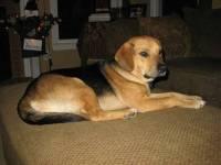 14.-German-Beagle