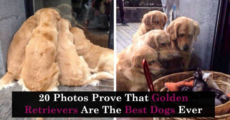 20 Photos Prove That Golden Retrievers Are The Best Dogs Ever
