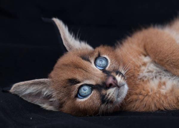 11. The cat has starred for its eyes. No wonder it is so beautiful.