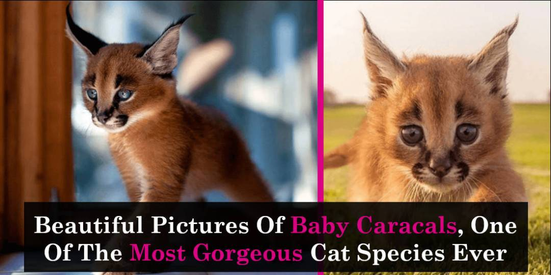 Beautiful Pictures Of Baby Caracals, One Of The Most Gorgeous Cat Species Ever