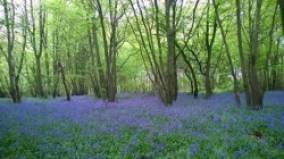English bluebells from Penny (526x295)