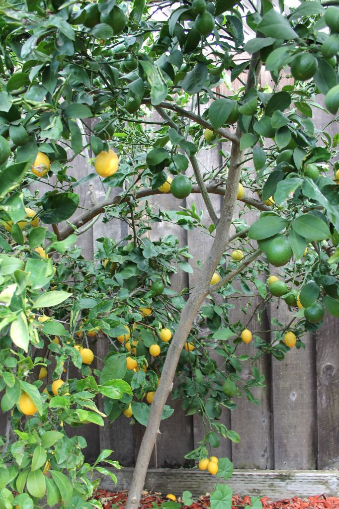 lemon tree_eureka or lisbon_blog