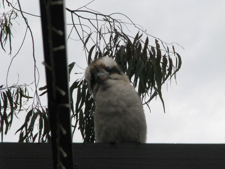 Kookaburra sits on our house trim