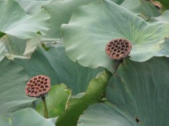 090 - Lotus Plant and Flowers