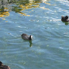 3 - White Faced Water Fowl