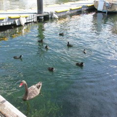 5 - Swan and Ducks in Lake Taupo Harbour
