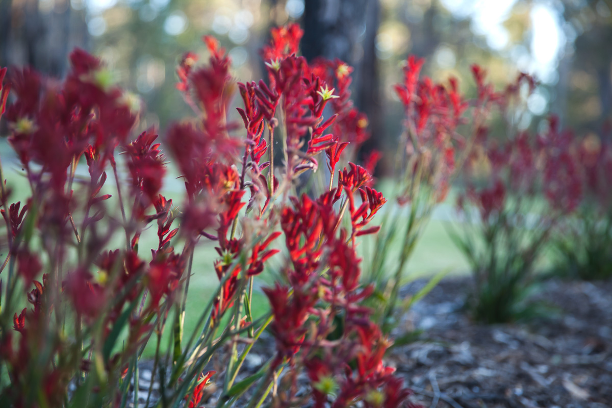 Inspiring Wit travel blog, visiting the new Amaroo Spa Retreat in the Perth Hills native flowers red kangaroo paw