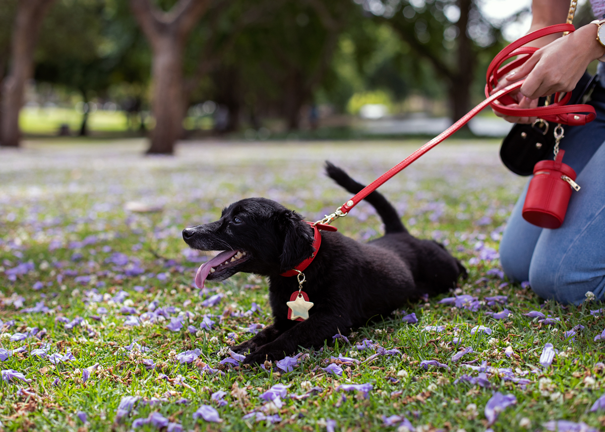 Christmas gift guide 2018 Perth with d'Artagnan wearing Tommy and Bella dog collar in Hyde Park