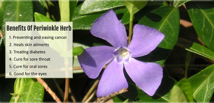 Health Benefits Of Periwinkle Herb