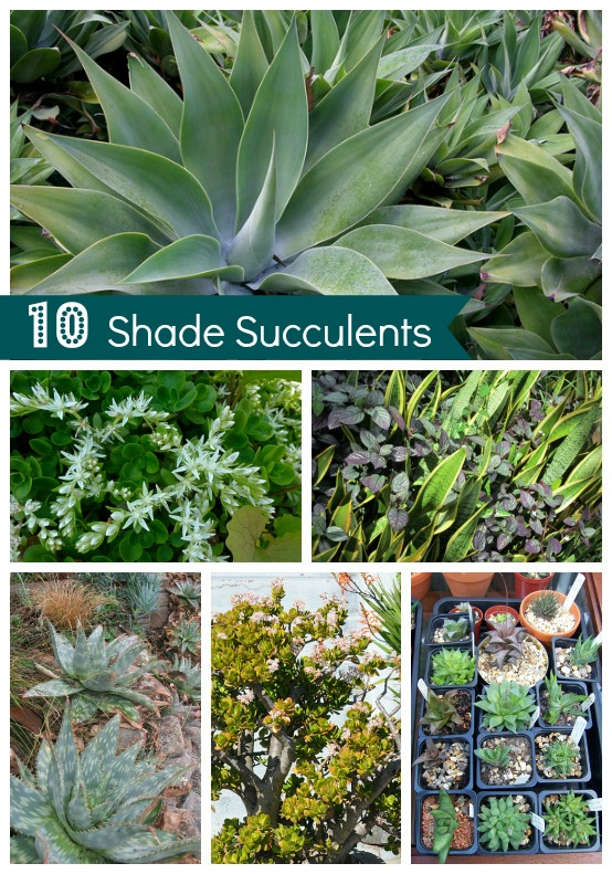 Shade Succulents: Drought
