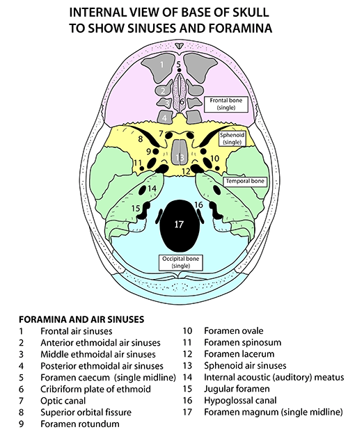 inside skull diagram 2001 audi a6 wiring instant anatomy head and neck areas organs foramina sinuses from