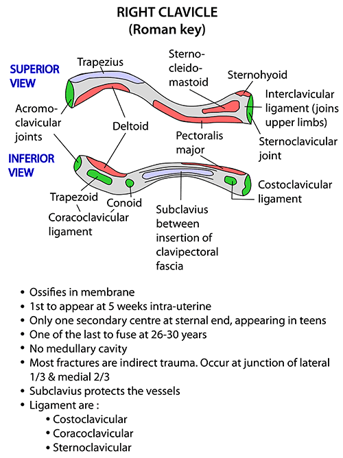 Body Of Sternum Diagram Instant Anatomy Upper Limb Muscles Clavicle
