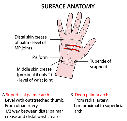palmar hand muscle anatomy diagram kilauea volcano anatomical palm great installation of wiring list synonyms and antonyms the word surface human body blank
