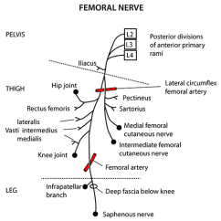 Lower Leg Nerve Diagram Tridon Thermo Fan Switch Wiring Instant Anatomy Limb Nerves Femoral